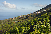 vineyard, vines, viticulture, near Los Quemados, near Fuencaliente, UNESCO Biosphere Reserve, La Palma, Canary Islands, Spain, Europe