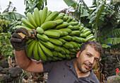 worker in a banana plantation, man, Monte Brena, UNESCO Biosphere Reserve, La Palma, Canary Islands, Spain, Europe