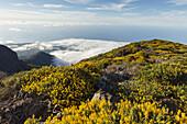 view eastwards to the Atlantic Ocean, near Pico de la Cruz, lat. Adenocarpus viscosus, endemic plant, crater rim, Caldera de Taburiente, Parque Nacional de la Caldera de Taburiente, Nacional Park, UNESCO Biosphere Reserve, La Palma, Canary Islands, Spain,