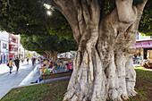rubber plant, lat. Ficus benjamina, street cafe, Plaza de Espana, main square, Los Llanos de Aridane, UNESCO Biosphere Reserve, La Palma, Canary Islands, Spain, Europe