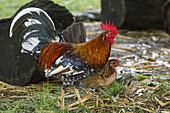 free-range chickens, cock, El Jardin de las Delicias, Parque Botanico, town park, Los Llanos de Aridane, UNESCO Biosphere Reserve, La Palma, Canary Islands, Spain, Europe