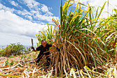 sugar cane harvest, rum factory, worker, man, near Puerto Espindola, east coast, Atlantik, near San Andres, San Andres y Sauces, UNESCO Biosphere Reserve, La Palma, Canary Islands, Spain, Europe