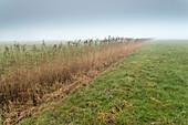 Weide, Nebel, Schilf, Dykhausen, Sande, Landkreis Friesland, Niedersachsen, Deutschland, Europa