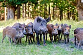 France, Haute Saone, Private park, Wild Boar (Sus scrofa), sow with youngs.