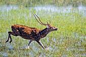Sri Lanka, Northwest Coast of Sri Lanka, Wilpattu National Park, Chital or Cheetal or Chital deer, Spotted deer or Axis deer( Axis axis),.