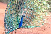 Sri Lanka, Northwest Coast of Sri Lanka, Indian Peafowl or Blue Peafowl (Pavo cristatus), male displaying.