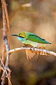 Sri Lanka, Yala national park, Little green bee-eater (Merops orientalis).