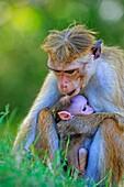 Sri Lanka, Yala national park, Toque macaque (Macaca sinica).