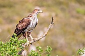 Spain, Catalonia, Pre-Pyrenees, Montsonis, Bonelli's eagle or Eurasian hawk-eagle, Hieraetus fasciatus or Aquila fasciata, picture taken from hide, at a feeding station for conservation purposes, utillizing live domestic pigeons caught as pests in a nearb