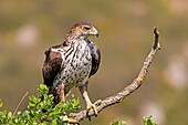 Catalonia, Pre-Pyrenees, Montsonis, Bonelli's eagle or Eurasian hawk-eagle, Hieraetus fasciatus or Aquila fasciata, picture taken from hide, at a feeding station for conservation purposes, utillizing live domestic pigeons caught as pests in a nearby city,