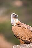 Europe, Spain, Province of Lleida, Eurasian Griffon Vulture (Gyps fulvus).