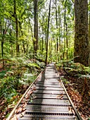Boardwalk amoung the Kauri trees in Trounson Kauri Park to avoid people damaging the tree roots, Northland, New Zealand.