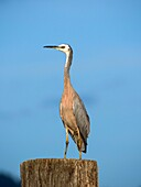 White-faced heron (Ardea novaehollandiae novaehollandiae) standing on large wooden pile for mooring boats. Whangarei, New Zealand.
