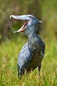 Whale headed / Shoebill (Balaeniceps rex) vocalising. Swamps of Mabamba, Lake Victoria, Uganda.