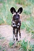 African wild dog portrait (Lycaon pictus) Hwange National Park, Zimbabwe.