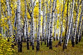 Fall colors have arrived at Kaibab National Forest, Arizona.