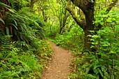 Giant Spruce Trail, Cape Perpetua Scenic Area, Siuslaw National Forest, Oregon.