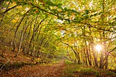 Nature landscape, autumn colors beech forest. Las Merindades County Burgos, Castile and Leon, Spain, Europe.