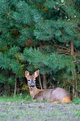 Roe Deer, Capreolus capreolus, late summer, Germany, Europe.