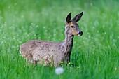 Roe Deer, Capreolus capreolus, Springtime, Germany, Europe.