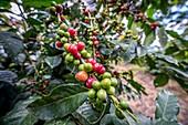 Ripe coffee beans (coffea arabica) on a coffee bush in Aquires, Costa Rica.