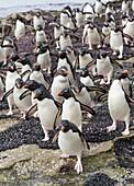 Rockhopper Penguin (Eudyptes chrysocome), subspecies western rockhopper penguin (Eudyptes chrysocome chrysocome). Hopping to the colony. South America, Falkland Islands, January.