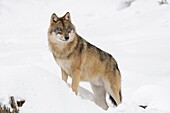 European Wolf in Winter, Canis lupus, Bavarian Forest National Park, Germany, Europe.
