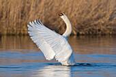 Mute Swan, Cygnus olor, Hesse, Germany, Europe.