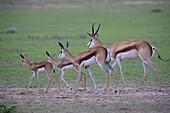 Springbok (Antodorcas marsupialis), Kgalagadi Transfrontier Park in rainy season, Kalhari Desert, South Africa/Botswana.