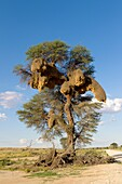 Huge communal nest of Sociable Weavers (Philetairus socius) in a camelthorn tree (Acacia erioloba), Kgalagadi Transfrontier Park in rainy season, Kalhari Desert, South Africa/Botswana.