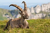 Alpine Ibex (Capra ibex), adult male lying in mountain habitat, Niederhorn, Bernese Oberland, Switzerland.
