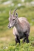 Alpine Ibex (Capra ibex), female standing on meadow, Niederhorn, Bernese Oberland, Switzerland.