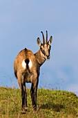 Chamois (Rupicapra rupicapra), adult standing on meadow, Niederhorn, Bernese Oberland, Switzerland.