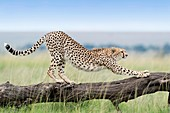 Cheetah (Acinonix jubatus) stretching on fallen tree, Maasai Mara National Reserve, Kenya.