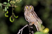 Tropical Screech-Owl (Megascops choliba), Cali, Valle del Cauca.
