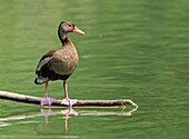 Black-bellied Whistling-Duck (Dendrocygna autumnalis), Cali, Valle del Cauca.