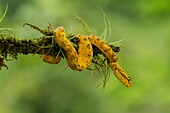 Eyelash Viper, Horned Palm Viper, Bothriechis schlegelii, Schlegelâ.s Palm Viper, is a relatively small arboreal pit viper. It has supraciliary scales over each eye which look like eyelashes. Found from Mexico to Colombia.
