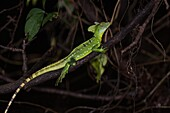 Plumed Basilisk, Green Basilisk, Double Crested Basilisk, Basiliscus plumifrons, is named after an ancient mythical basilisk that could kill a man with its look or its breath. Costa Rica.