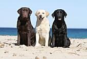 Dog Labrador Retriever