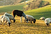 Sheep and alpaca grazing in South Downs National Park near Brighton, East Sussex, England.