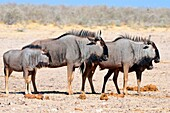 Blue wildebeests (Connochaetes taurinus), two adults and two young standing on arid ground, Etosha National Park, Namibia, Africa.