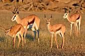Springboks (Antidorcas marsupialis), two adult females with two young, early morning, Kgalagadi Transfrontier Park, Northern Cape, South Africa, Africa.