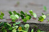 Leafcutter ants carry sections of leaves larger than their own bodies in order to cultivate fungus for food at their colony in the rain forest near La Selva Lodge near Coca, Ecuador.