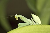 Green mantis, Bangalore, Karnataka. Mantisesare anorder(Mantodea) ofinsectsthat containsover 2, 400 species in about 430 generain 15 families.