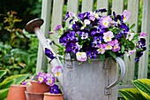Viola flowers in vintage metal watering can
