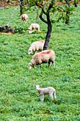 Sheep on pasture, Alaro, Mallorca, Spain