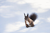 Wild squirrel into the snow of Val Roseg, Pontresina, Canton of Graubunden, Switzerland, Europe
