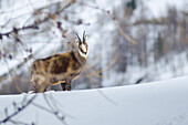 Male of chamois, Valsavarenche, Aosta Valley, Gran Paradiso National Park, Italian alps, Italy