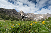Italy, Europe,Dolomites, Alps,Trentino, Fassa Valley, alpine pasture,cows,grazing cows, Duron Valley site