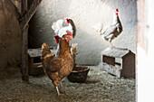 Europe,Italy,Trentino,Fassavalley,Dolomites Farmanimal,hens,chicken